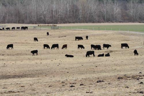 black cows (2)