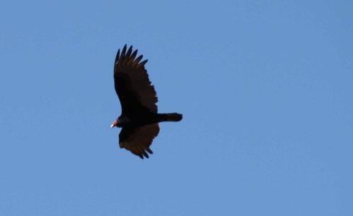 hawk fly sky