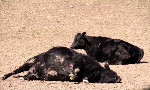 spencertown cows  (19)