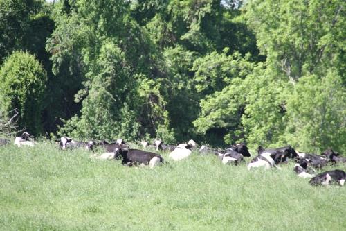 hillsdale cows (7)