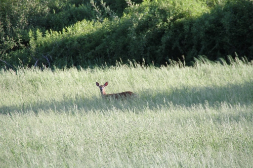 lone deer in spencertown (2)