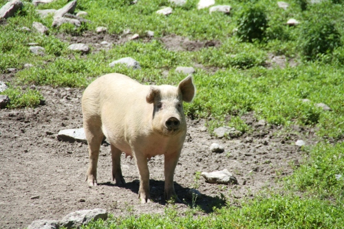 rte 21 pigs columbia county (2)