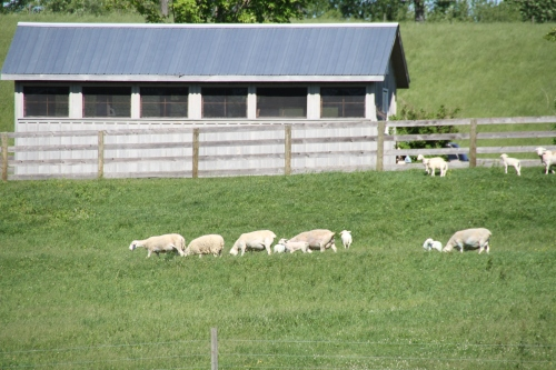 sheep grazing (3)