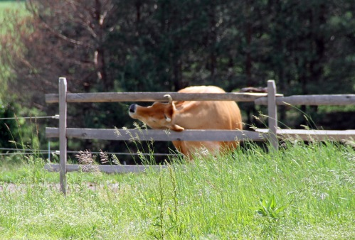 cow fence crop