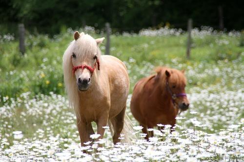 daisy ponies (7)