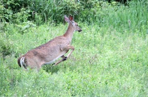 deer running (5)